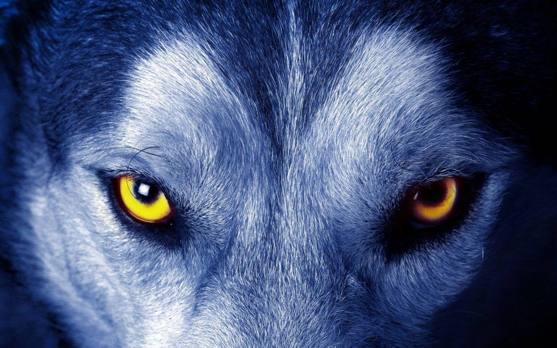 36127755-wallpaper-wolf wallpaper