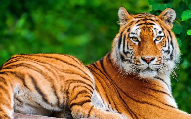 36000209-tiger-wallpaper-hd wallpaper