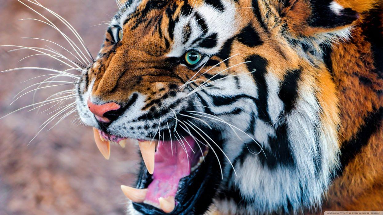36106774-tiger-wallpapers wallpaper