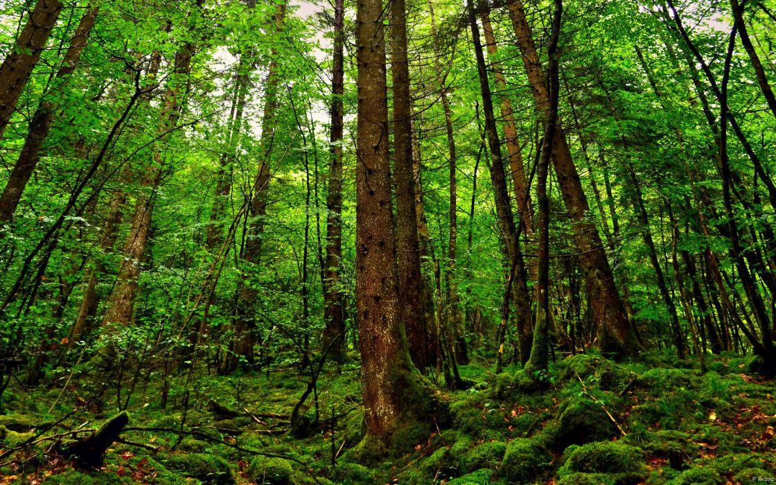 35937985-forest-wallpaper wallpaper