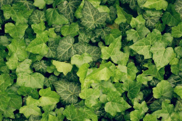 enredadera hojas planta naturaleza wallpaper