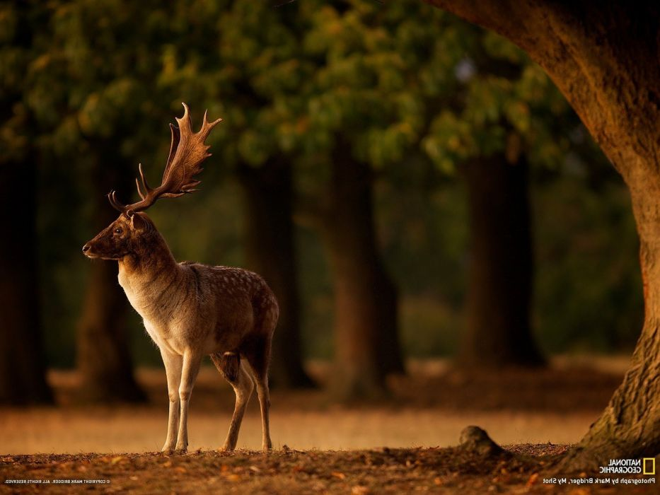 animals Blurred Deer Depth Of Field Fall horns National Geographic Trees wallpaper