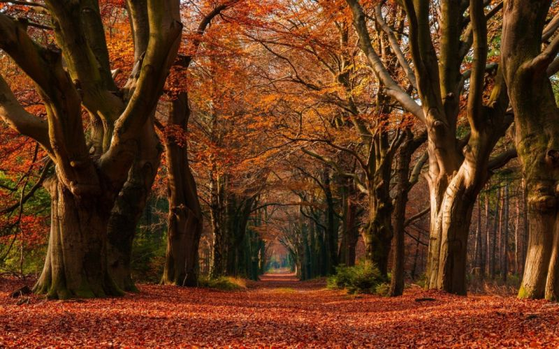 Colorful Fall landscape leaves Morning nature Netherlands path Trees tunnel wallpaper