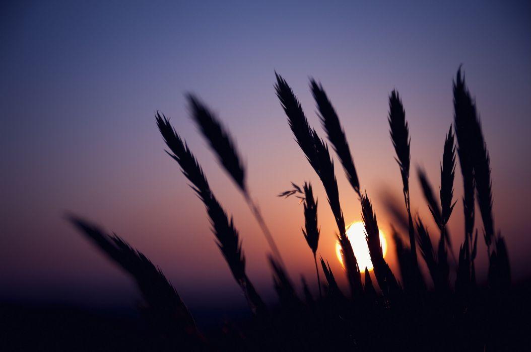 Silhouette sunset Wheat wallpaper