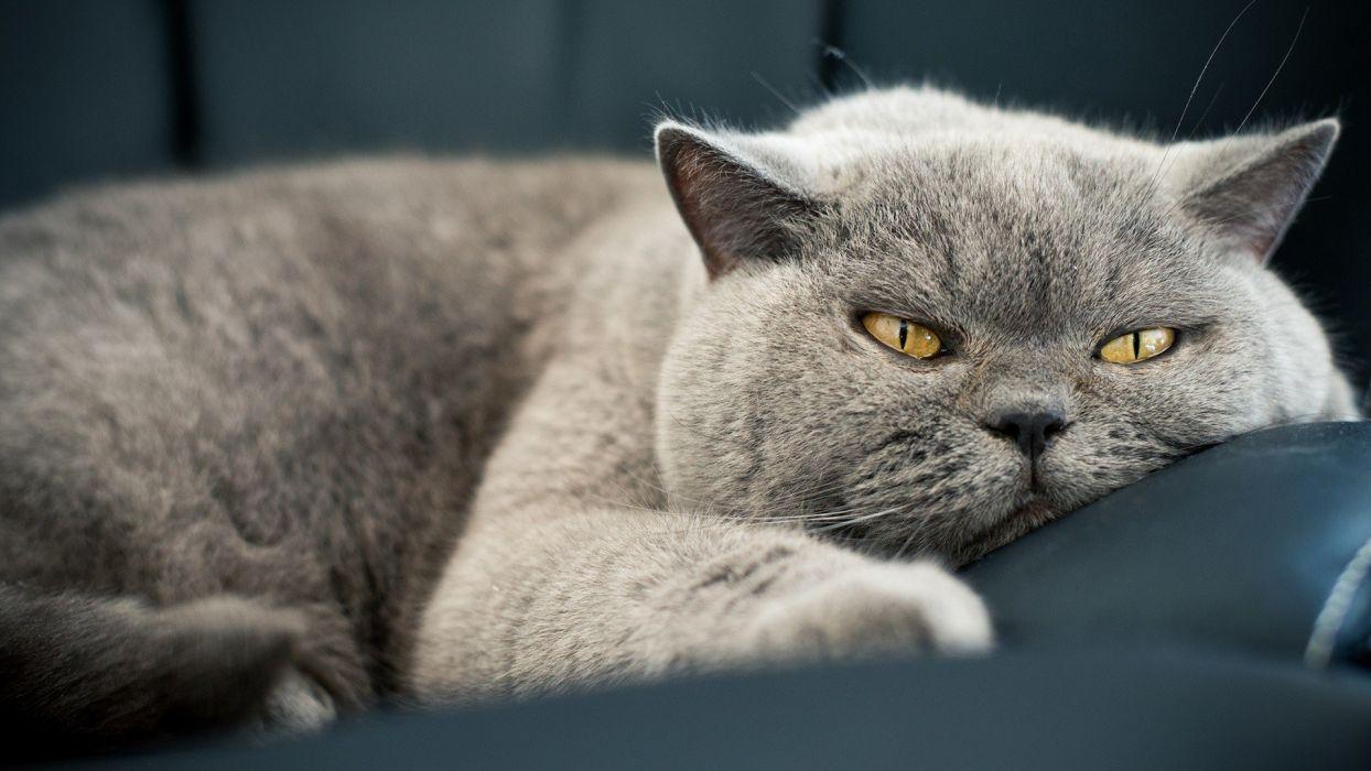 animals cats Feline gray Lazy wallpaper