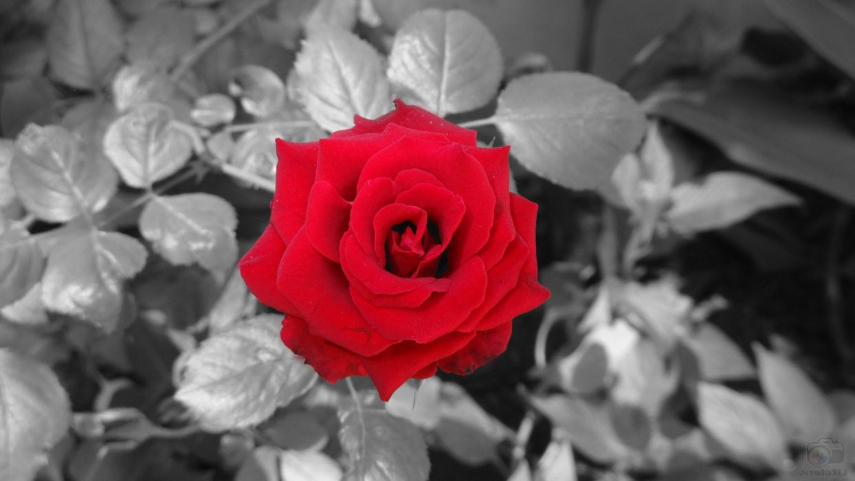 Black And Red blossoms flowers love rose Selective Coloring ...