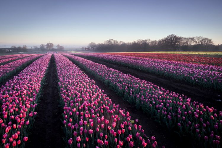 field flowers landscape tulips wallpaper