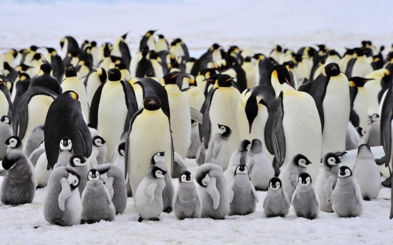 animals baby animals birds Penguins wallpaper
