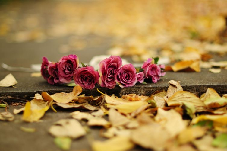 nature flower autumn rose pink leaf wallpaper