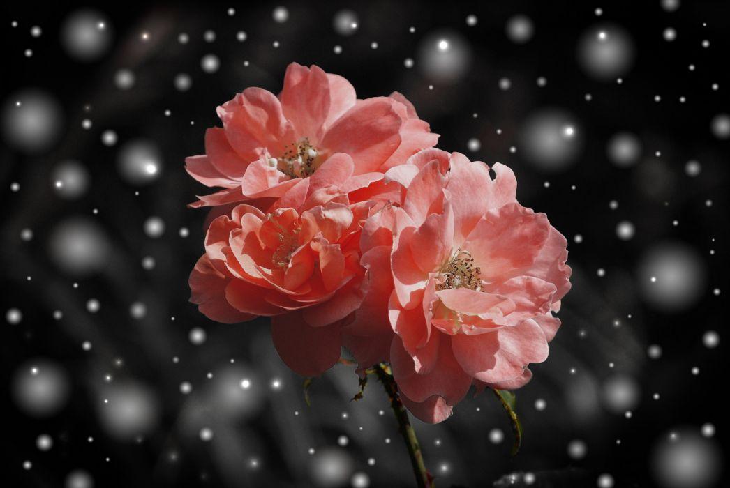 Rose Flower Flowers Plant Fantasy Snow Winter wallpaper