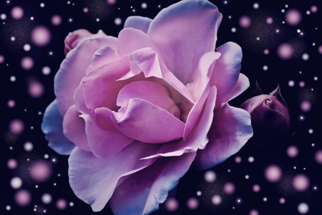 Rose Flower Pink Blossom Bloom Fantasy wallpaper