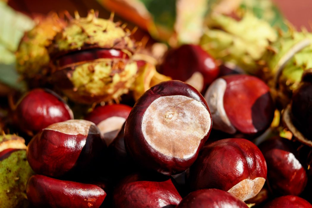 Chestnut Ordinary Rosskastanie Fruit Red Shiny nut wallpaper