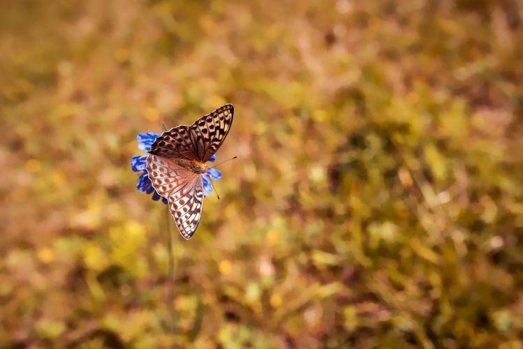 Butterfly Butterflies Edelfalter Nature Flower wallpaper