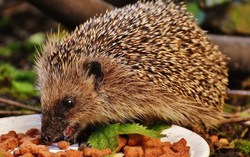 Hedgehog Animal Spur wallpaper