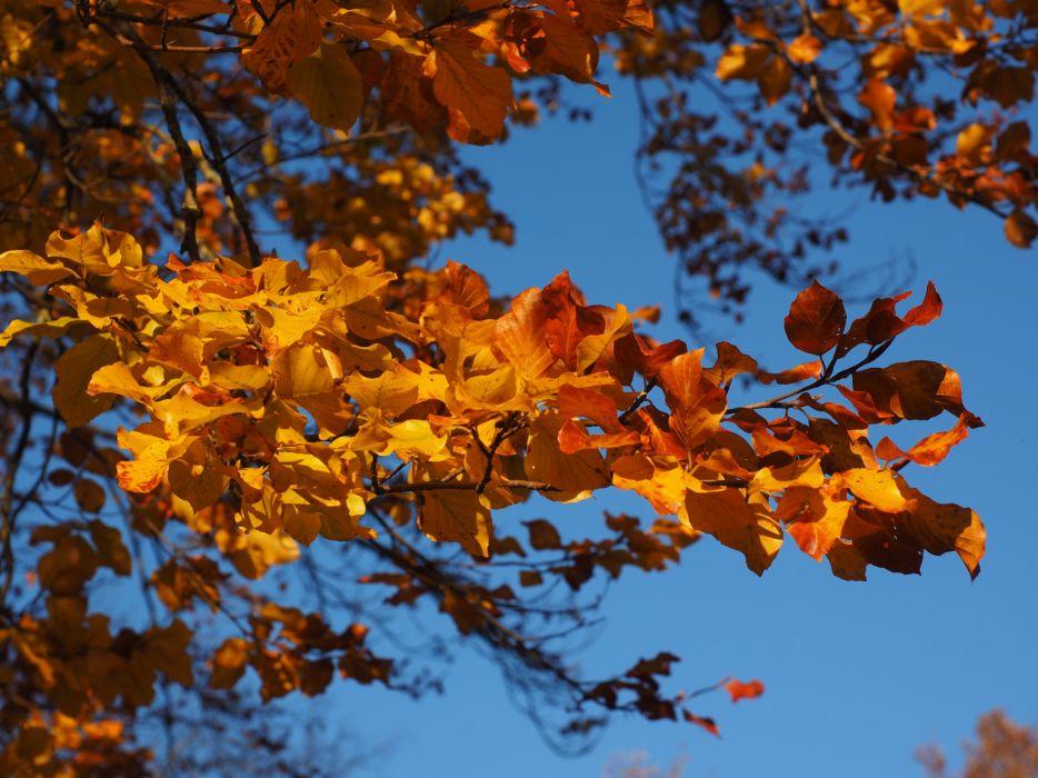 Branch Leaves Beech Fall Foliage Golden Fall Color autumn wallpaper