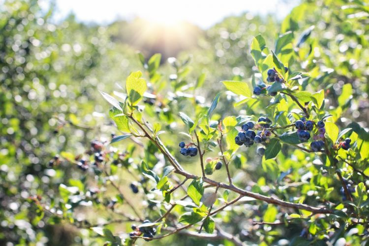 Blueberries Bush Nature Blueberry Berry Healthy wallpaper