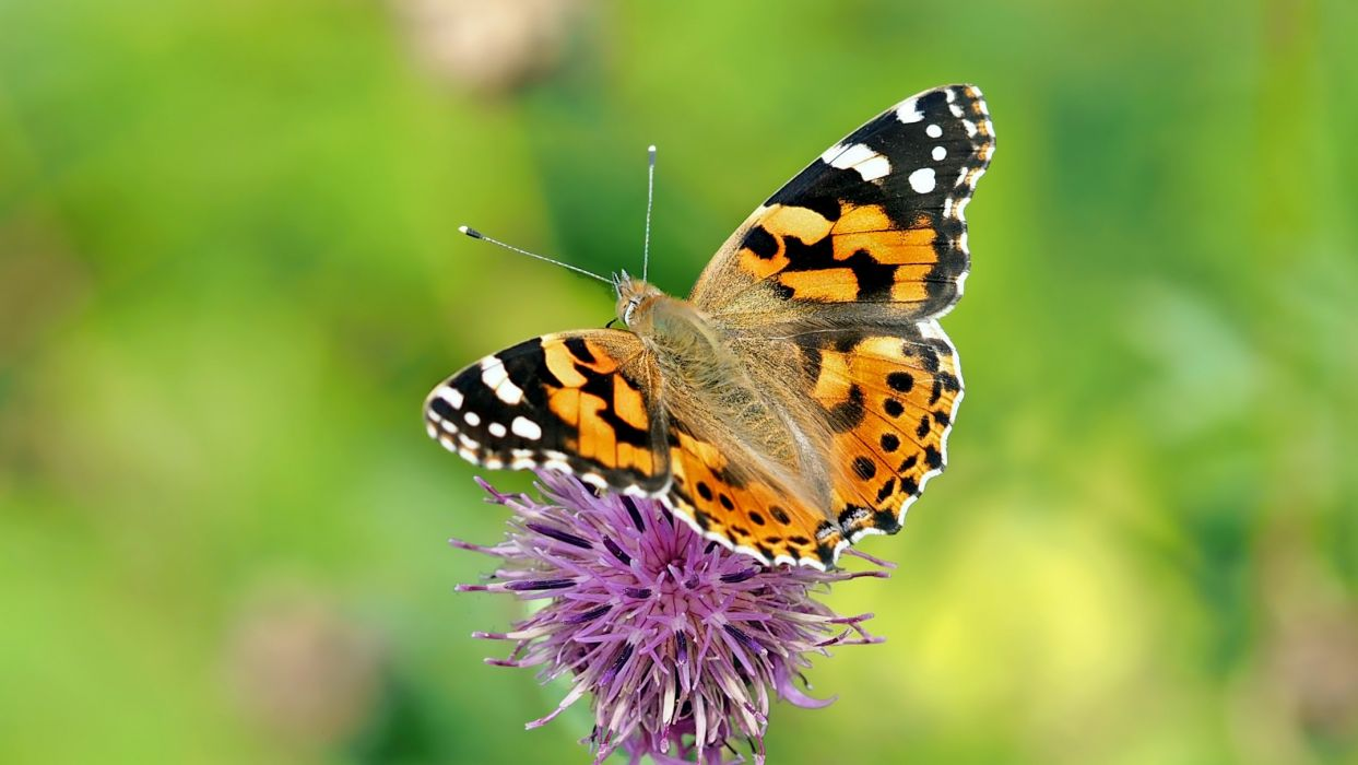 Insect Nature Live buttrfly wallpaper