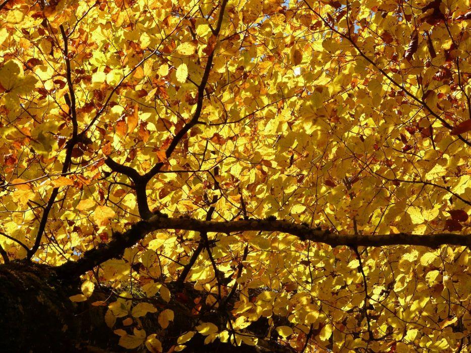 Fagus Sylvatica Fagus Deciduous Tree autumn wallpaper