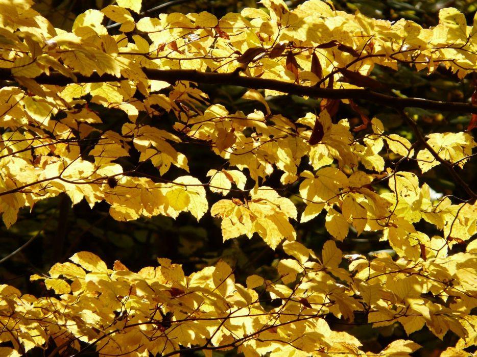 Beech Fagus Sylvatica Fagus Forest Golden Autumn wallpaper