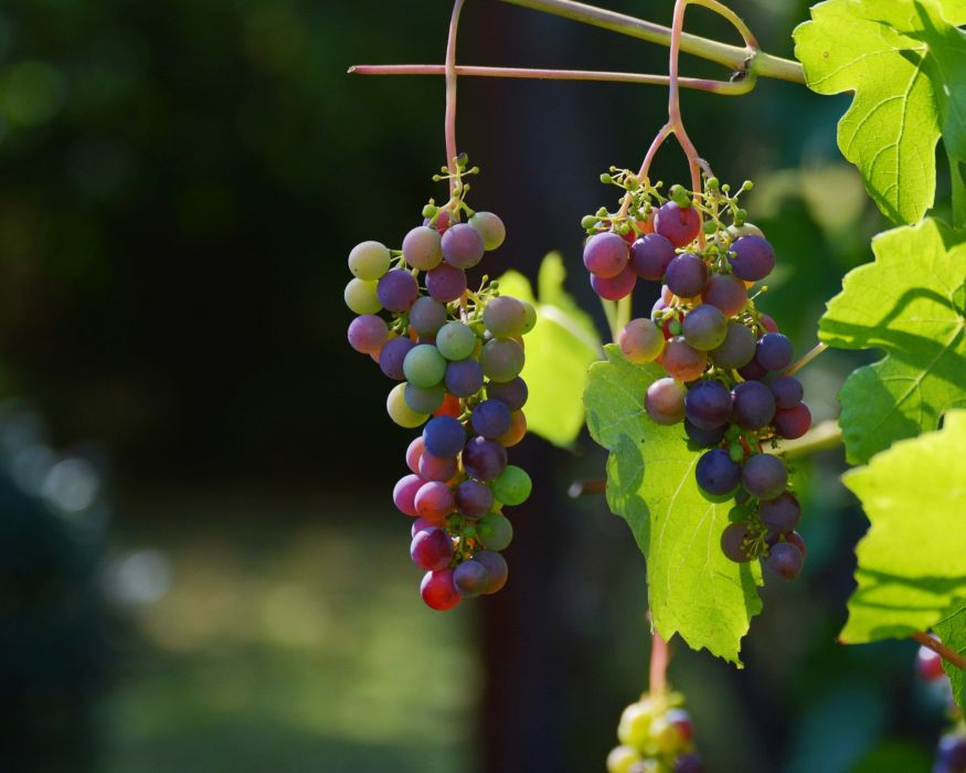 Grape Vine Red Grapes Wine Winegrowing Grapevine wallpaper