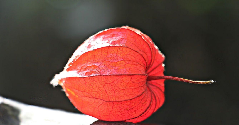 Lampionblume Physalis Alkekengi Ornamental Plant asian wallpaper