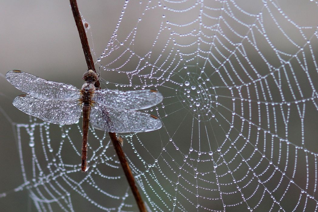 Dragonfly Dew Spider Web Morning Insecta Drop wallpaper