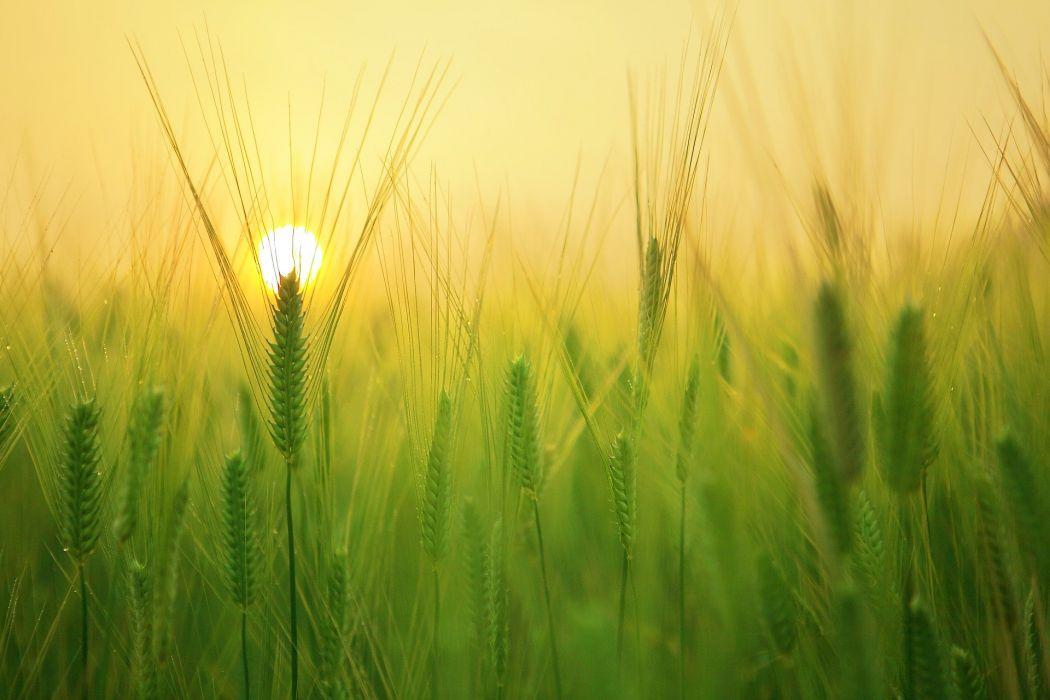 Barley Field Sunrise Morning Solar Cloud Landscape wheat wallpaper
