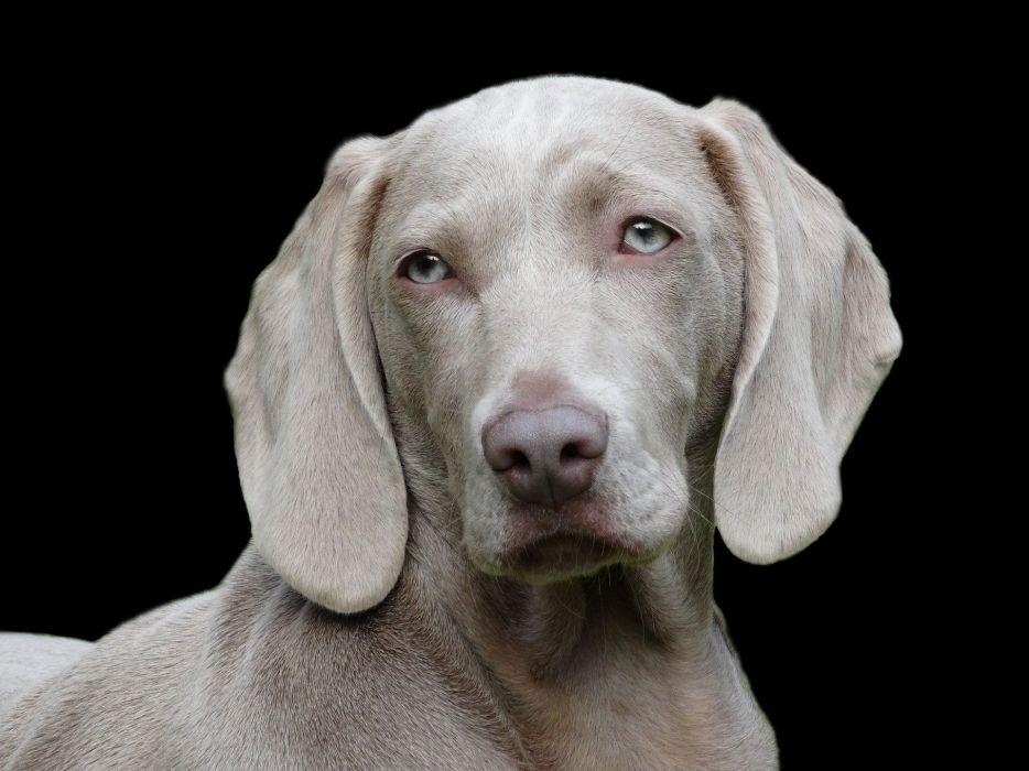 Dog Weimaraner Portrait wallpaper