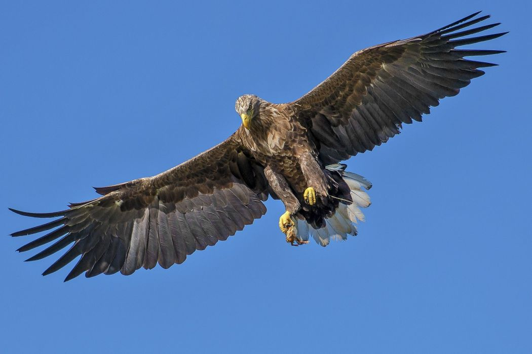 Eagle Bird wallpaper