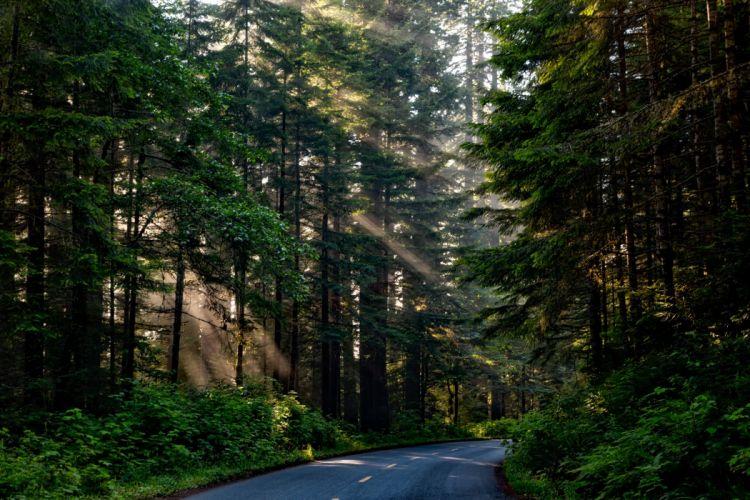Forest Trees Woods Sunlight Shaft Of Light road wallpaper