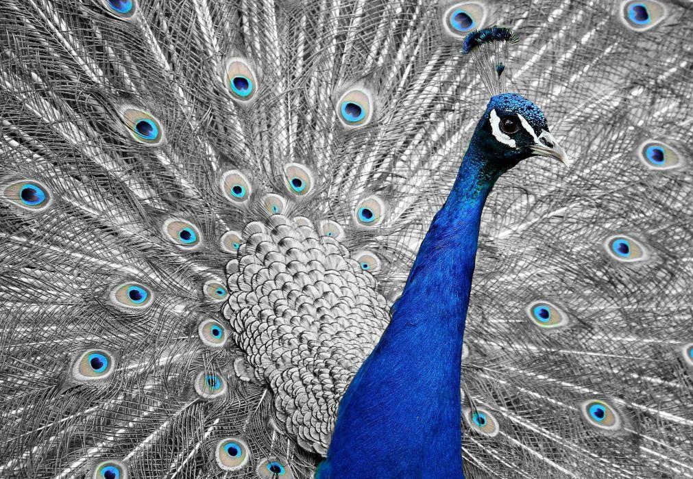 Peacock Animal Bird Feather Vanity Iridescent wallpaper