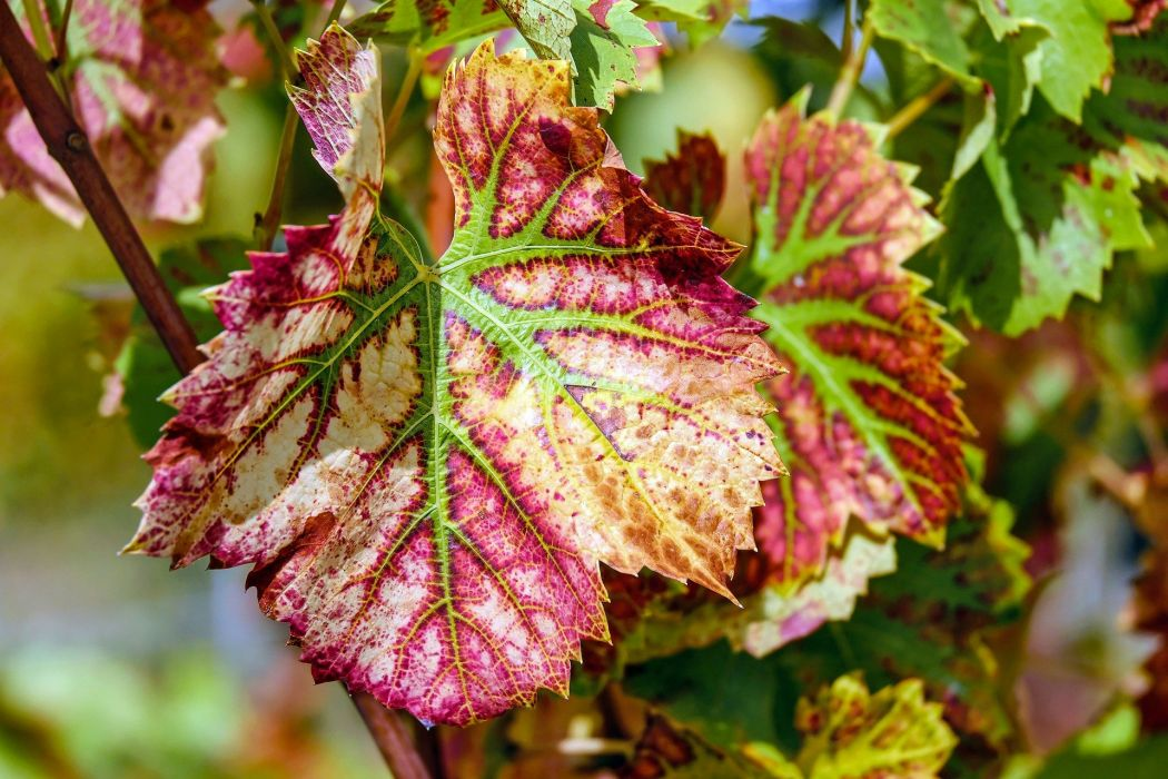 Wine Leaf Leaf Color Grapevine Plant Winegrowing grape wallpaper
