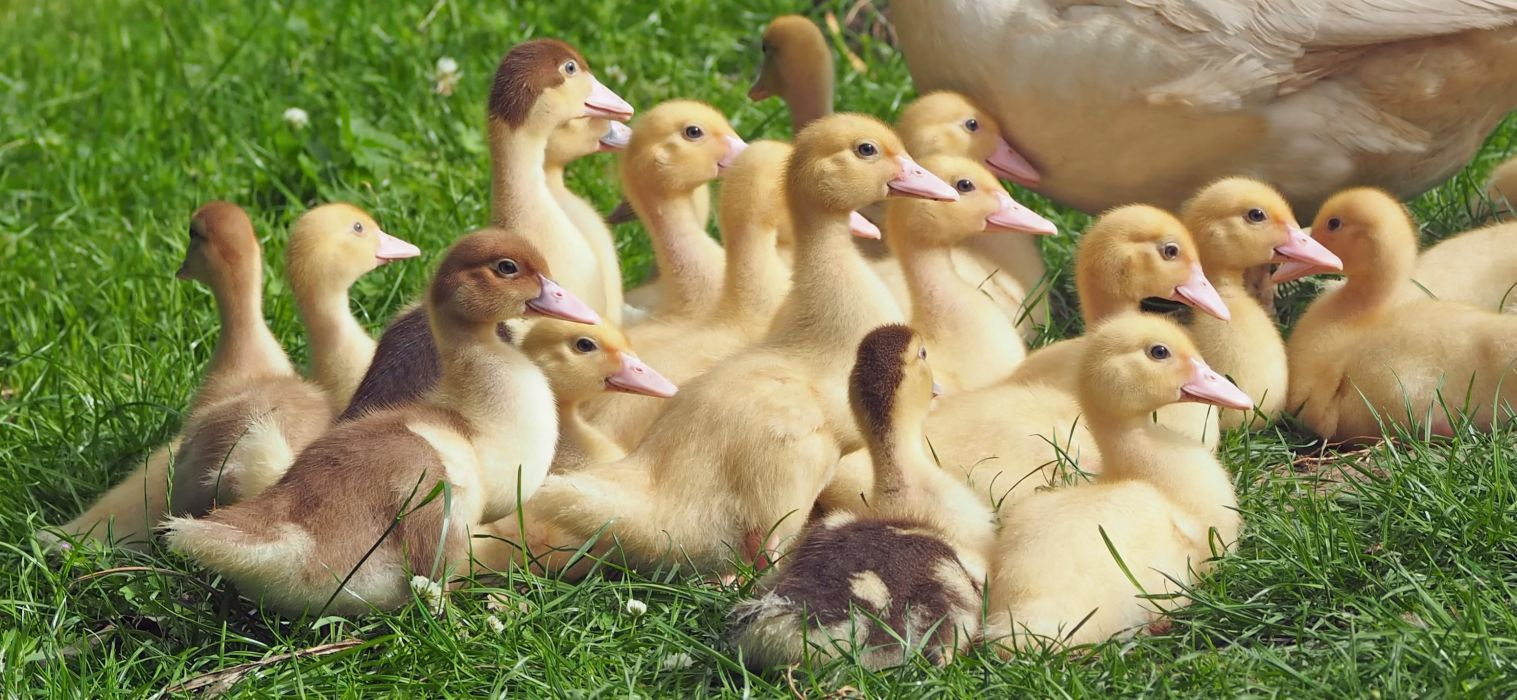 ducklings duck baby wallpaper
