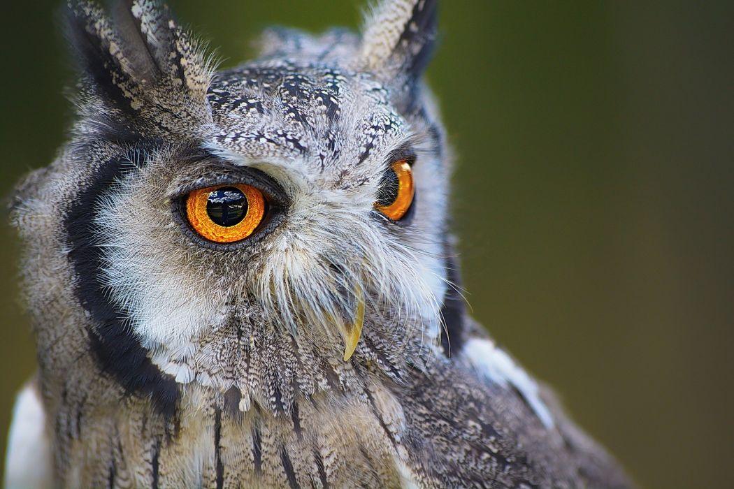 Owl Bird Animal Nature Portrait Eyes Beak Brown wallpaper