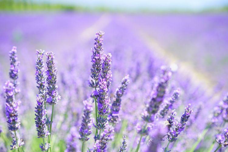 Lavender Blossom Purple Violet Light Purple wallpaper