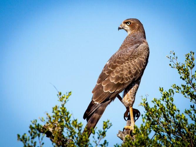 Bird Of Prey Falcon Raptor Bird Animal wallpaper