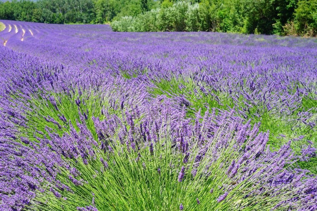 Lavender Field Flowers Purple Flora Floral wallpaper