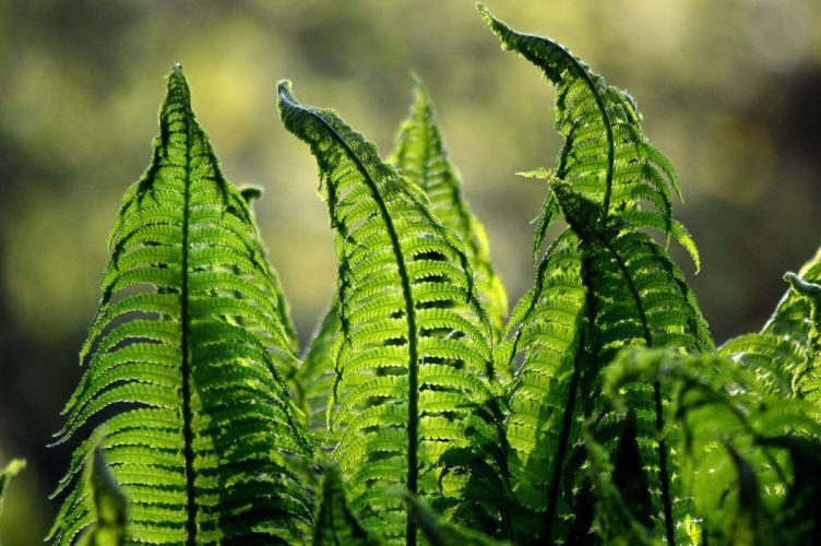 Fern Ferns Green Nature Foliage Garden Plant wallpaper