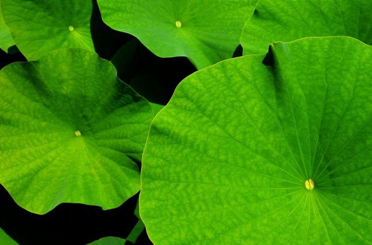Giant Leaf Lotus Lotus Leaf Botanical Garden Leaves wallpaper