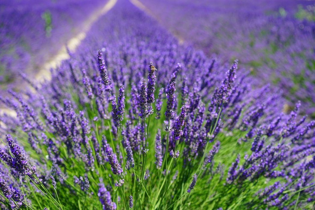 Lavender Field Flowers Purple Flora Floral bee wallpaper