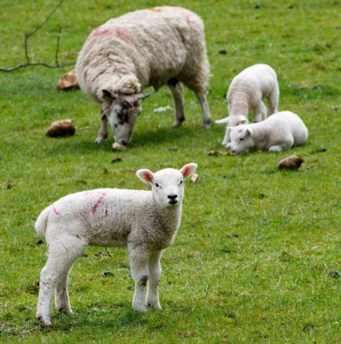 Lamb Sheep Wool Farm Grass Nature Agriculture wallpaper