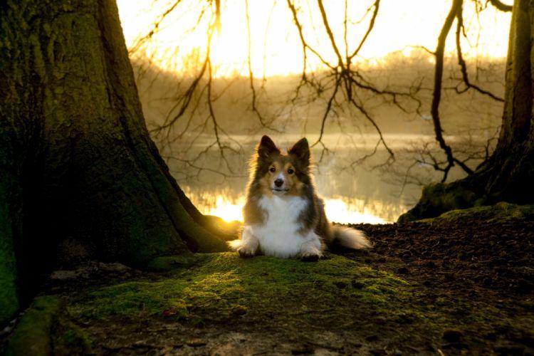Sheltie Sunset Moss lake wallpaper