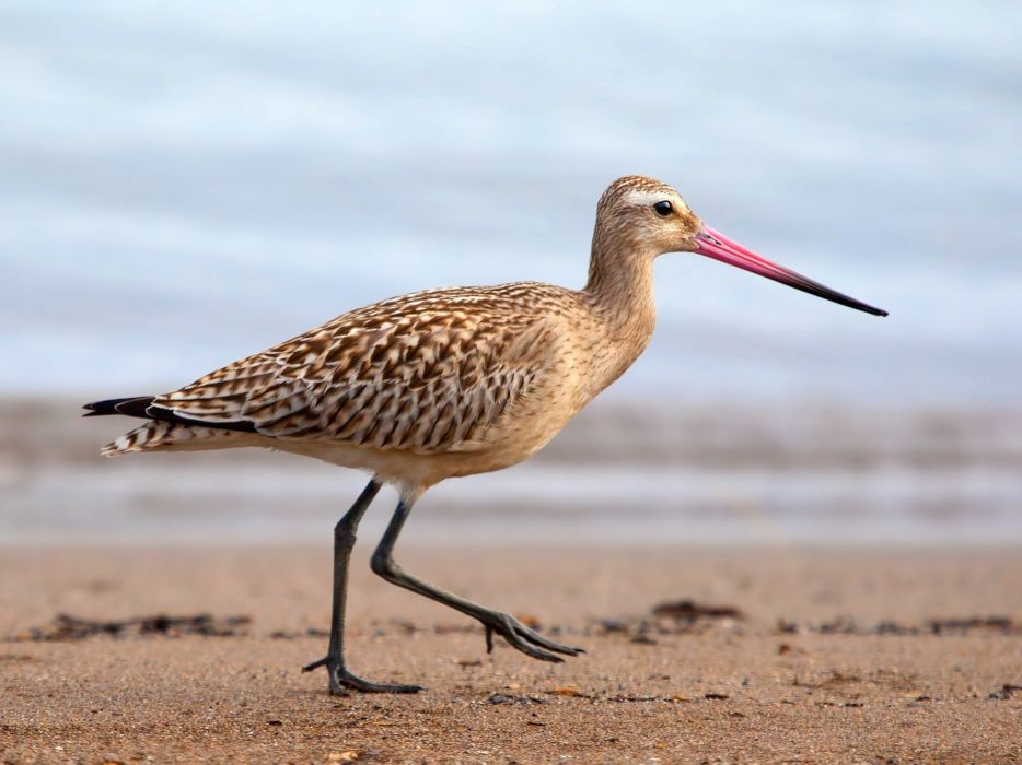 Godwit Bar-Tailed Bird Limosa beach ocean sea wallpaper
