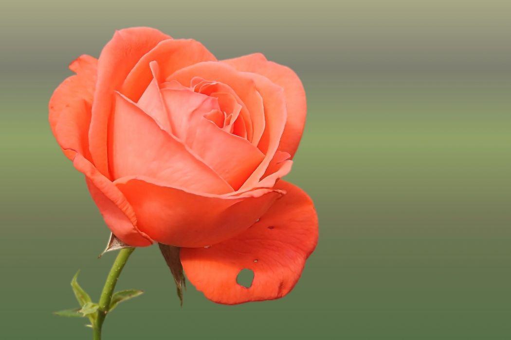 Rose Orange Salmon Rose Blooms Blossom Bloom wallpaper