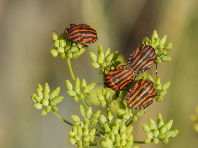 Beetles Bugs Reproduction Couple Insects Striped wallpaper
