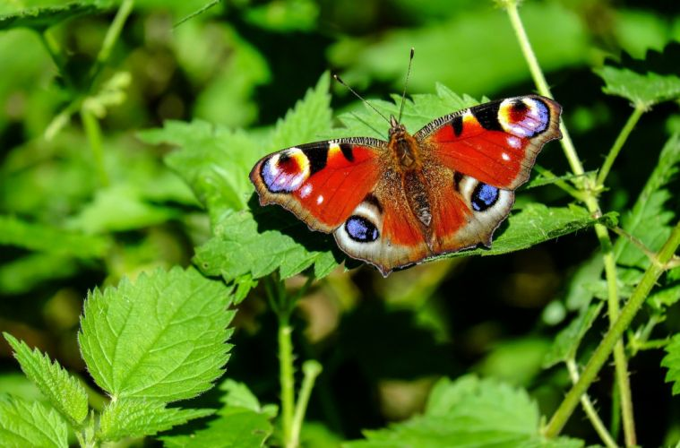 Peacock Butterfly Butterfly Insect Colorful wallpaper