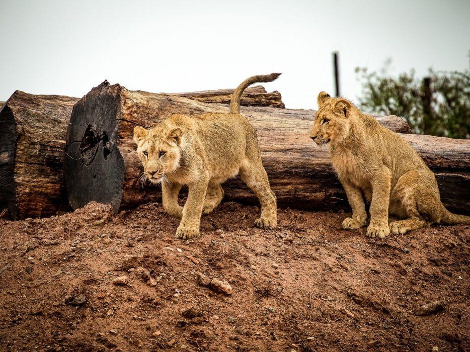 Lion Lion Cub Cat Big Cat Animal Africa Wildlife wallpaper
