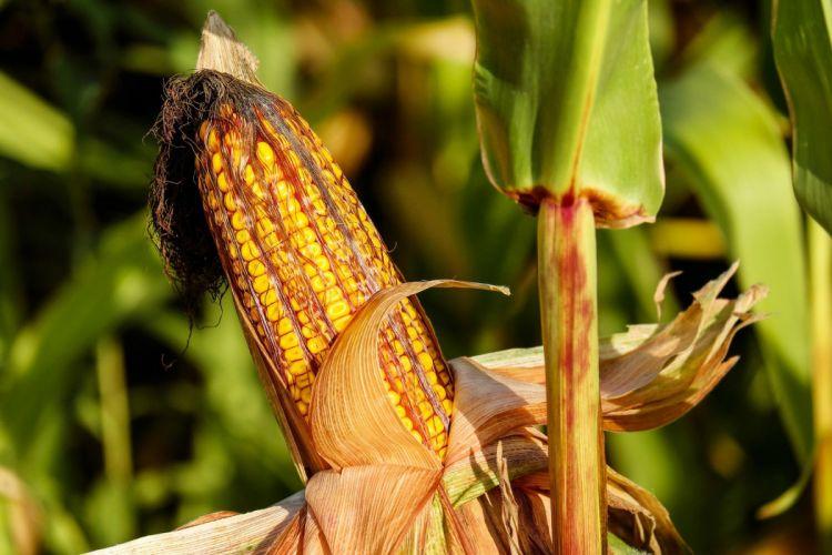 Corn Food Field Autumn Nature wallpaper