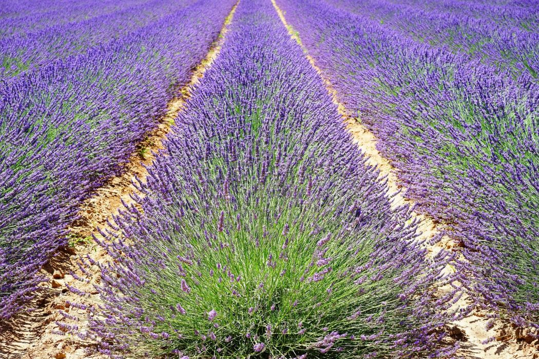 Lavender Lavender Field Lavender Flowers Blue wallpaper
