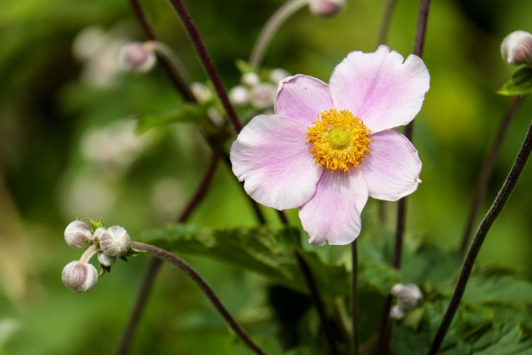 Anemone Flower Blossom Bloom Flowers Pink Nature wallpaper